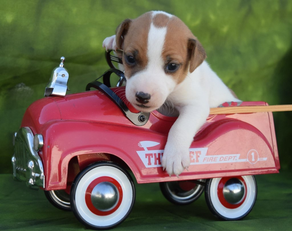 carson puppy jack russell parents dog podcast
