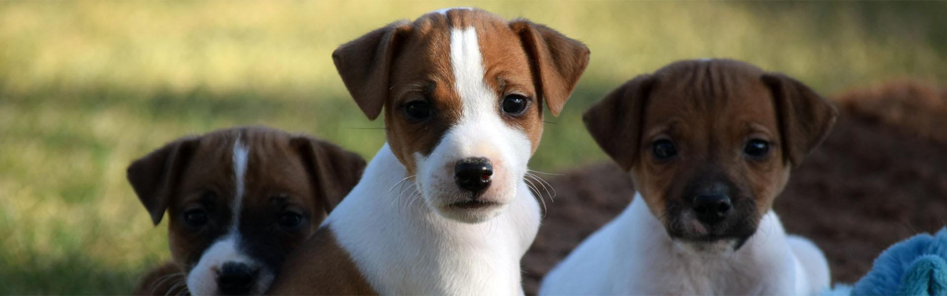 dog podcast jack russell parents