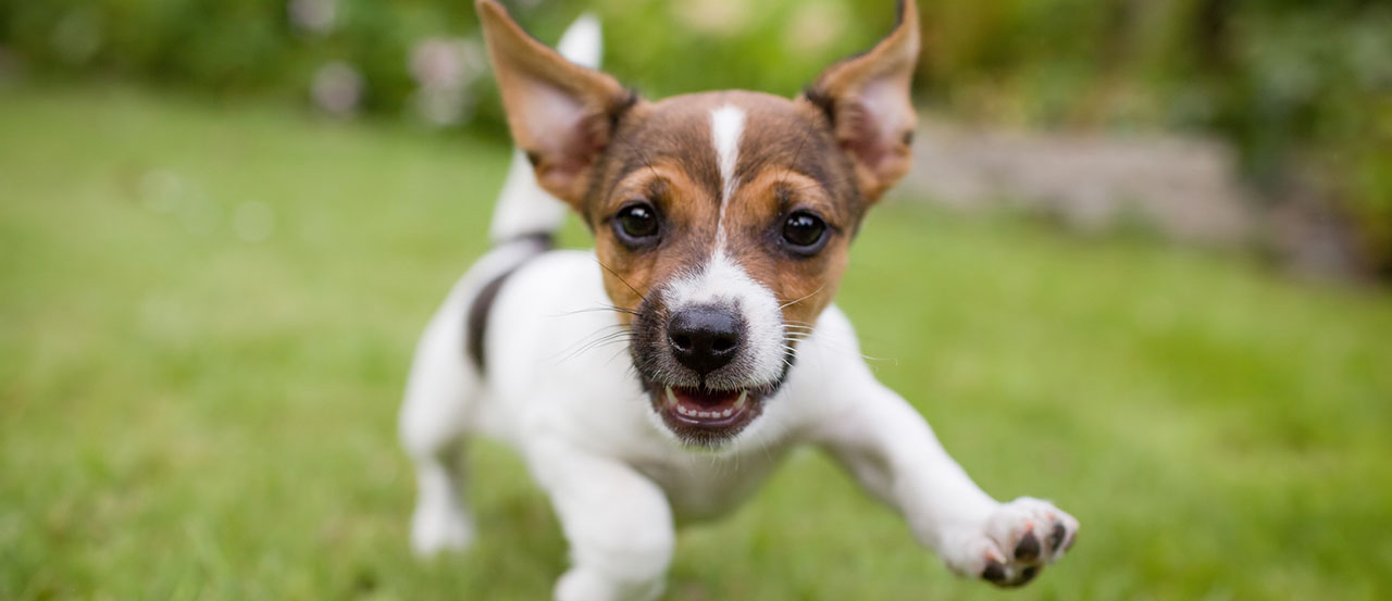 how to know if you're ready for a jack russell terrier